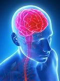 Highlighted brain Stock Photos