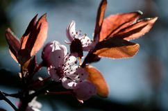 Highlighted branch of blooming cherry tree Stock Photos