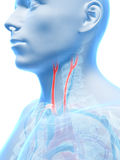 Highlighted carotid artery Royalty Free Stock Photography