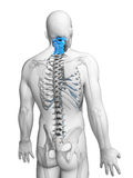 Highlighted cervical spine Stock Photo