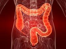 Highlighted colon vector illustration