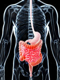 Highlighted digestive system Royalty Free Stock Image