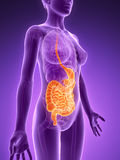 Highlighted digestive system Stock Images