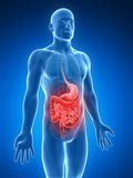 Highlighted digestive system. 3d rendered illustration of a painful belly Royalty Free Stock Photography