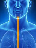 Highlighted esophagus. 3d rendered illustration of the esophagus Stock Image