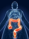 Highlighted female colon Royalty Free Stock Photo