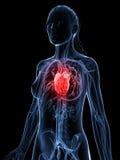 Highlighted female heart Stock Photos