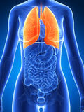 Highlighted female lung Stock Image