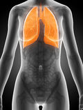 Highlighted female lung. 3d rendered illustration of the female anatomy - lung Royalty Free Stock Photography