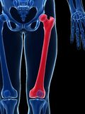 Highlighted femur Royalty Free Stock Photo