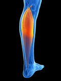 Highlighted gastrocnemius Stock Images