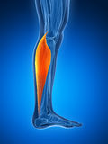 Highlighted gastrocnemius Stock Photo