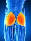 Highlighted gluteus maximus Stock Photography