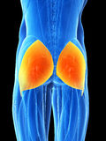 Highlighted gluteus maximus Stock Images
