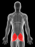 Highlighted gluteus maximus Royalty Free Stock Images