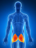 Highlighted gluteus maximus Stock Photo