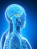 Highlighted hippocampus Stock Photo
