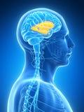 Highlighted inner brain anatomy Royalty Free Stock Photography