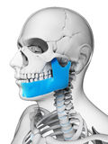 Highlighted jaw bone Stock Images