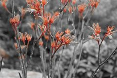 Highlighted Kangaroo Paw on a rainy Day Royalty Free Stock Images
