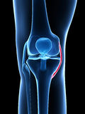 Highlighted knee joint Stock Photos