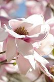 Highlighted Iolanthe magnolia flower Royalty Free Stock Photos