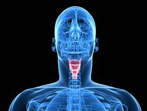Highlighted larynx. 3d rendered x-ray illustration of human head with highlighted larynx Stock Images