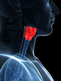 Highlighted larynx anatomy Royalty Free Stock Images