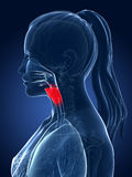 Highlighted larynx Royalty Free Stock Image