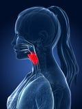 Highlighted larynx. 3d rendered medical illustration - larynx Royalty Free Stock Image