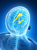 Highlighted lateral ventricle Stock Photos