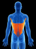 Highlighted latissimus Royalty Free Stock Photo