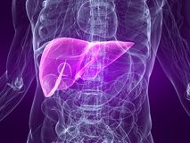 Highlighted liver Stock Image