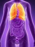 Highlighted lung Stock Images