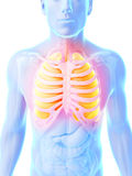 Highlighted lung Royalty Free Stock Image