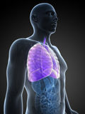 Highlighted lung Royalty Free Stock Photography
