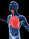 Highlighted lung Royalty Free Stock Photo