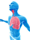 Highlighted lung Stock Photography
