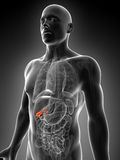 Highlighted male gallbladder Royalty Free Stock Image