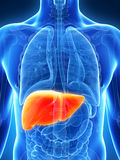 Highlighted male liver Royalty Free Stock Photography