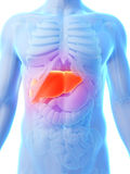 Highlighted male liver Stock Image