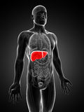 Highlighted male liver Royalty Free Stock Image