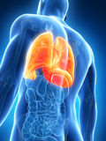 Highlighted male lung Stock Image