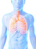 Highlighted male lung Stock Photo