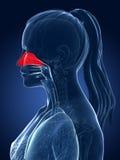 Highlighted nasal cavity. 3d rendered medical illustration - nasal cavity Royalty Free Stock Photo