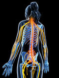 Highlighted nerve system Royalty Free Stock Photo