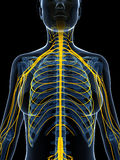 Highlighted nerve system Stock Photos