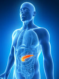 Highlighted pancreas Stock Photography