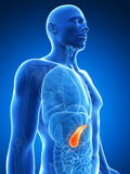 Highlighted pancreas Stock Images
