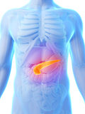 Highlighted pancreas. 3d rendered illustration - highlighted pancreas Royalty Free Stock Photos